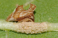 Entylia carinata