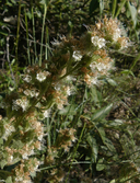 Phacelia heterophylla var. virgata