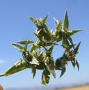 Crypsis vaginiflora