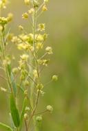 Lepidium jaredii ssp. jaredii