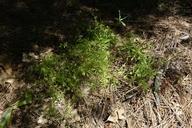 Galium mexicanum ssp. asperulum
