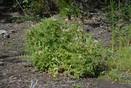 Cirsium scariosum var. citrinum