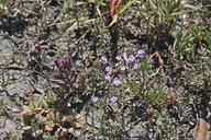 Limonium duriusculum