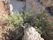Galium angustifolium ssp. gracillimum