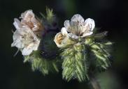 Phacelia cicutaria var. cicutaria
