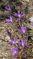 Brodiaea jolonensis