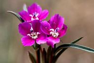 Clarkia purpurea