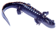 Northern Long-toed Salamander