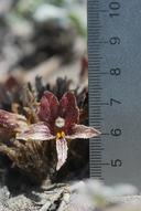 Orobanche californica ssp. grandis