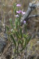 Linanthus californicus ssp. tomentosus