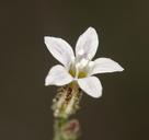 Aliciella monoensis