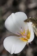 Calochortus panamintensis