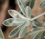 Lupinus magnificus