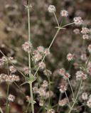 Galium hilendiae ssp. carneum