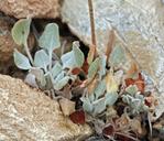 Eriogonum mensicola