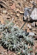 Lupinus magnificus var. magnificus