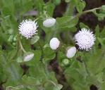 Trichocoronis wrightii var. wrightii