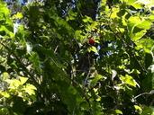 Rubus hawaiensis