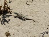 "Aspidoscelis neomexicana with regenerated tail.<br /><strong>Location:</strong> Petroglyph National Monument, Rinconada Canyon (Bernalillo, New Mexico, US)<br /><strong>Author:</strong> <a href=""http://calphotos.berkeley.edu/cgi/photographer_query?where-name_full=Vicente+Mata-Silva&one=T"">Vicente Mata-Silva</a>"