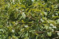 Frangula purshiana ssp. purshiana