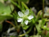 Sagina decumbens ssp. occidentalis