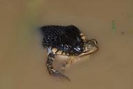 Nerodia erythrogaster flavigaster