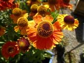 Helenium autumnale