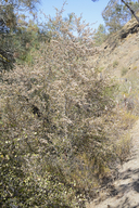 Birch Leaf Mountain Mahogany
