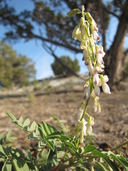 Astragalus bisulcatus var. nevadensis