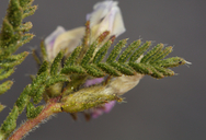 Oxytropis borealis var. viscida