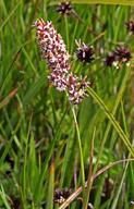 Calamagrostis stricta ssp. inexpansa
