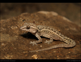 Graceful Leaf-toed Gecko