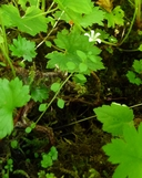 Cascadia nuttallii