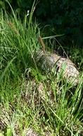 Carex scabriuscula