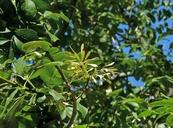 Fraxinus velutina