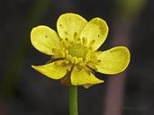 Ranunculus flammula var. ovalis