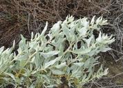 Atriplex spinifera