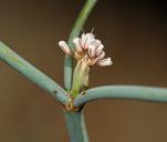 Eriogonum nudum var. pauciflorum