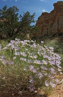 Erigeron utahensis