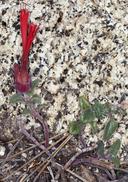 Monardella macrantha