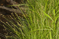 Carex disperma