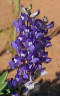 Lupinus pusillus