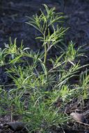 Cordylanthus tenuis ssp. barbatus