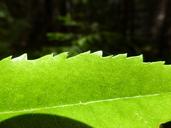 Morella californica
