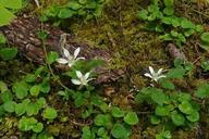 Rubus macropetalus