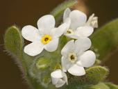 Plagiobothrys mollis