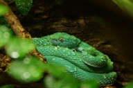 Side-striped Palm-pit Viper