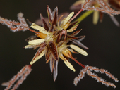Juncus howellii