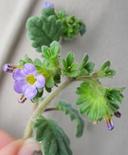 Phacelia suaveolens var. suaveolens