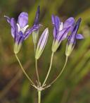 Brodiaea rosea